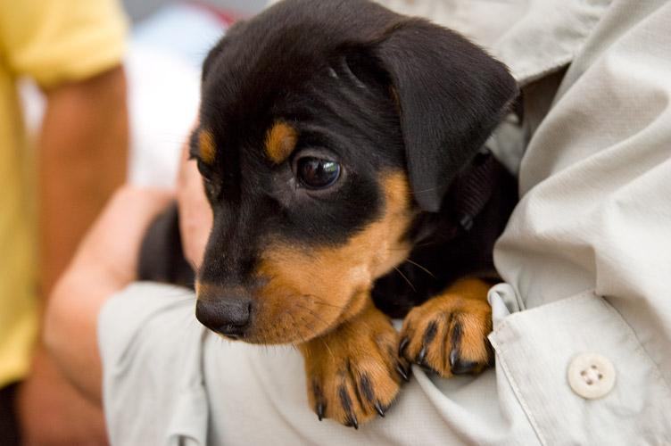 duitse pinscher puppy