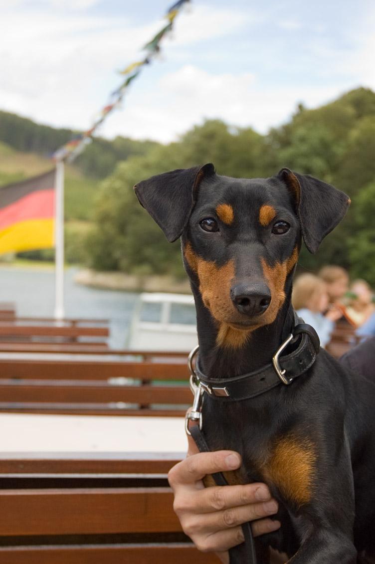 Duitse Pinscher op een duitse boot, Hennesee