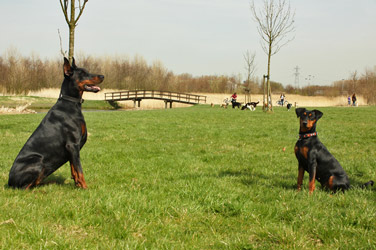 Doberman vs German Pinscher